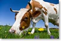 Eine Kuh grast auf der Weide